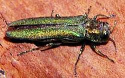 Emerald Ash Borer Treatments Milwaukee