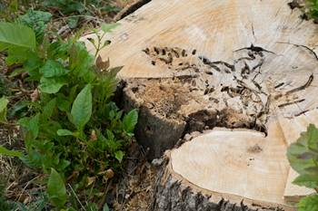 Stump of tree infested by Emerald Ash Borer